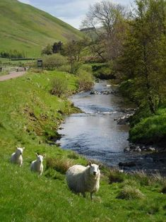 Country Living ~ Sheep ~ River Coquet in Northumberland British Countryside, Sheep And Lamb, The Good Shepherd, Country Scenes, England And Scotland, British Isles, Country Life, Country Living Uk, Farm Life