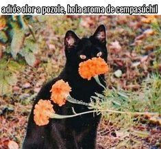 """34 Me gusta, 0 comentarios - Gatos Cool (@gatoscooloficial) en Instagram: """". . . . #memesdegatoscool #gatoscool😸 #gatos_cool #cempasúchil #cempasuchil #diademuertos…"""""""