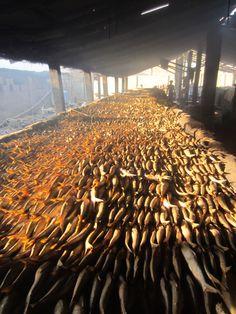 Mega veel vis #Tanji #Gambia