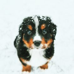 Bernese Mountain Dog Puppy | follow us on Instagram: @ashleighgrams