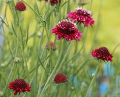 Scabiosa, Pincushion Flower