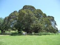 The National Register Of Big Trees is an integrated list of Australian native [indigenous] trees, and naturalised [exotics/alien] trees. Australian Flowers, Australian Plants, Giant Tree, Big Tree, Trees And Shrubs, Ficus, Native Plants, Planting Flowers, Exotic