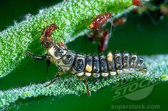 Lady beetle larva eating aphids.