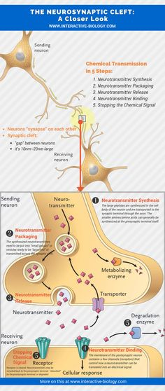 THE NEUROSYNAPTIC CLEFT: A closer look
