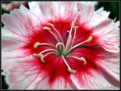 Dianthus Chinesis - Raspberry Parfait - Dianthus Macro by Kelledia, via Flickr