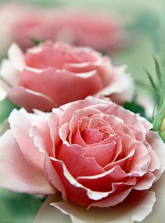 ~~Pink Roses by Marcie Gonzalez~~