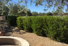 Drought Tolerant and Beautiful: Hopbush, the Alternative to Oleanders - Ramblings from a Desert Garden Landscaping Trees, Front Yard Landscaping, Privacy Landscaping, Drought Tolerant Trees, Myrtle Tree, Japanese Garden Design, Japanese Gardens, Desert Plants, Desert Gardening