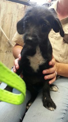 **TEXAS**Peppie is a young pup. She is about three months old at this time. She loves kids and is very mellow. She would love a family that welcomes her into their home and family. She will love on you and curl up in your lap if you allow her too. She has...