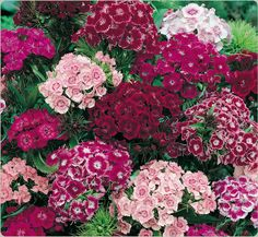Sweet William Dianthus: Many different varieties and colors.  Nice Spring flower for my red/pink flower bed.