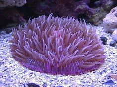 Plate Coral - Fungia species - Short Tentacle Plate Coral - Disc Coral - Fungus Coral - Mushroom Coral