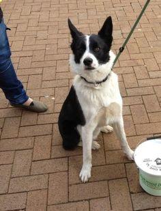 Border Collie: Bruno at Oakwood Dog Rescue