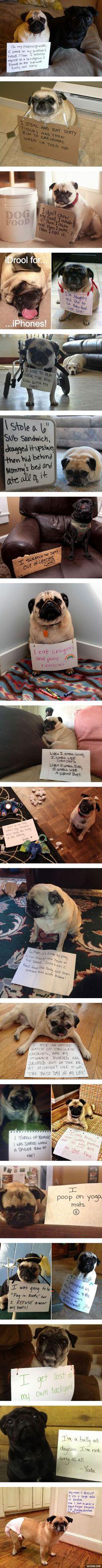 dog shaming - pug compilation: