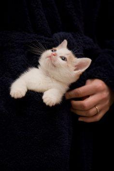 Milo: pocket kitten Found on flickr.com