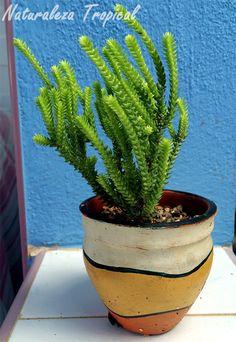 Cordón de San José, Crassula muscosa o Crassula lycopodioides Succulent Gardening, Cacti And Succulents, Planting Succulents, Cactus Plants, Suculent Plants, Orchid Cactus, Purple Plants, Mini Cactus, Hibiscus