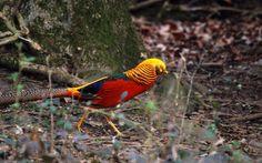 multicolor golden pheasant best desktop wallpaper in hd
