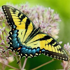 """Eastern Tiger Swallowtail Butterflies, Caterpillars, Chrysalis Photos : Gardens With Wings - I have a male and female one that love my lantana.  This is a """"light female"""""""