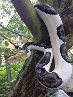 (1) reticulated python | Tumblr