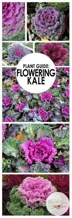 Plant Guide: Flowering Kale
