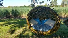 Hanging chairs made from one of the toughest plants in North Queensland, the Lawyer vine or Calamus australis.  Both the open design and the cozy closed in design have room for two people. Huge custom cushion can be made for your chair for an additional $250, although most people load their chairs with cheap bean bags which work great!  The thickness of the cane used ensures a lifetime of use from your chair even with heavy daily use. 1 inch cane is used for the frame which is over kill…