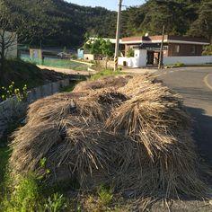 땅심을 키우는 두엄을 만들기 위해 길가에 쌓아둔 짚. 오랫만에 창녕에서 보았다.