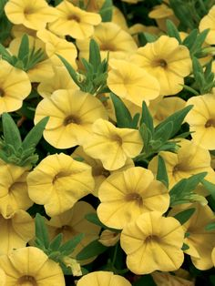 Calibrachoa 'Yellow'. Container plants don't get easier than this petunia lookalike: prolific blooms that don't need deadheading on a plant that wants only well-drained soil.