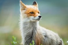 This Russian Miner Takes Adorable Photos of Foxes During His Breaks.