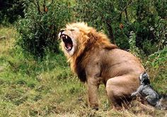 Animal mating pics of a lion and hyena couple Lions And Hyenas, Baby Animals, Funny Animals, Lion Couple, Macho Alfa, Lion And Lioness, Lion Love, Roaring Lion, Lion Wallpaper