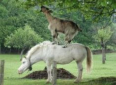 Goat and horse
