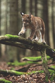 Lovely lynx out in the beautiful old forest as it should be! Such beautiful cats, lynx.