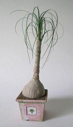 Ponytail Palm # miniatures, plant
