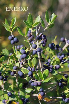 Enebro, planta medicinal