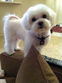 Pin by Jen Hosilyk on Animals Puppy cut, Puppy haircut, Maltipoo maltipoo haircuts styles - Haircut Style Maltese Haircut Short, Puppy Haircut, Maltipoo Haircuts, Dog Haircuts, Hairstyles Haircuts, Yorkshire Terrier Haircut, Yorkshire Terrier Puppies, Terrier Dogs, Dog Grooming Styles