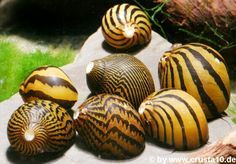 """""""Zebra nerite snail"""", Neritina (Vittina) turrita- - Planeta Invertebrados Brasil -"""
