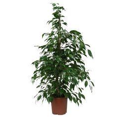 Ficus benjamina 100/110 cm - 45 euros
