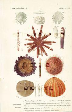1861 Poisson Amphacanthe gravure ancienne Orbigny Original Qualité Exceptionnelle Histoire Naturelle peinte à la main Poissons Exotiques de la boutique sofrenchvintage sur Etsy