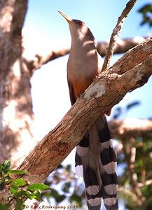 Pajaro Bobo Mayor-Puerto Rican Lizard Cuckoo-Coccyzus vieilloti-Bosque de Cambalache, Arecibo, north PR.