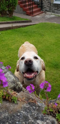 I do not mind if he is old and a little bit daft my Rossi is the best old boy and still looks beautiful :) Lush Bath Bombs, Image Macro, Old Boys, Good Old, Dog Pictures, Labrador Retriever, Mindfulness, Hate People, Good Things