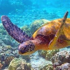 safe to say i'm obsessed with sea turtles..