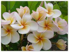 La Plumeria, piccolo fiore tropicale