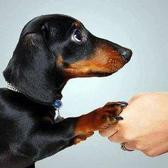 Sweet Doxie...Shake my hand, Doxie Soul Man