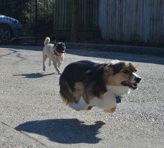 running corgi funny fast