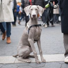 """Venus, Weimaraner (6 m/o), Union Square, New York, NY • """"She ate two socks last night and just vomited them up."""""""