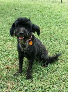 Meet Maggie, a Petfinder adoptable Schnauzer Dog | Astoria, NY | Maggie is 2-3 yrs old, 24 Lbs. 100% potty trained. She gets along with dogs of every size and...