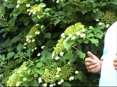 How To Make Essay Bombshell Hydrangea Not Blooming - Opinion of experts Climbing Hydrangea, Climbing Vines, Hydrangea Not Blooming, Hydrangea Garden, White Gardens, Farm Gardens, Hydrangea Petiolaris, Outside Plants, Plant Identification