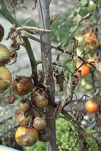 Kraut- und Braunfäule an Tomaten - wie es dazu kommt, wie man sie verhindern kann. Cabbage, Fruit, Brown, Html, Gardening, Check, Patio, Get Tan, Flowers