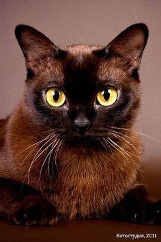 Бурма (Burmese cat)