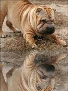 I think he wants to play with his reflection! Shar Pei Puppies, Baby Puppies, Dogs And Puppies, Cute Puppies, Doggies, Chinese Dog, Chinese Sharpei, Animals And Pets, Cute Animals