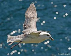 Fulmar in flight.