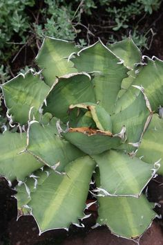 Agave titanota Mean Streak (Mean Streak Rancho Tambor Century Plant) : Agave titanota 'Mean Streak' is a lovely selection of the Mexican Rancho Tambo century plant that we acquired in 2009 under the invalid name of 'Me...