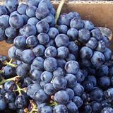 Cabernet Franc Grape/101-14 3+:$14.50 SPRING(3 or more $14.50/Each) Grafted Clone #1. Cabernet Franc is the father of Cabernet Sauvignon with a similar vine and fruit. It is a delicious, medium bodied red wine. Cab Franc is winter hardy and needs less heat to ripen than Sauvignon, which makes it a leading high quality wine grown in the upper midwest and in eastern U.S. including New York Finger Lakes and the Hudson Valley as well as in New Jersey, Pennsylvania and in Virginia.